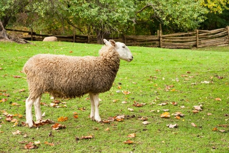 sheep-in-backyard